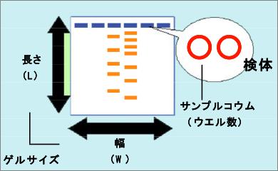 アガロースゲル電気泳動 (サブ...