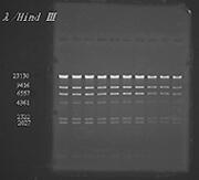 泳動パターン例 (試料:λ-Hind III digest ゲル濃度:1% バッファー:TBE 泳動条件:100V定電圧)