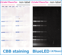 Electrophoresed pattern with EzLabel FluoroNeo